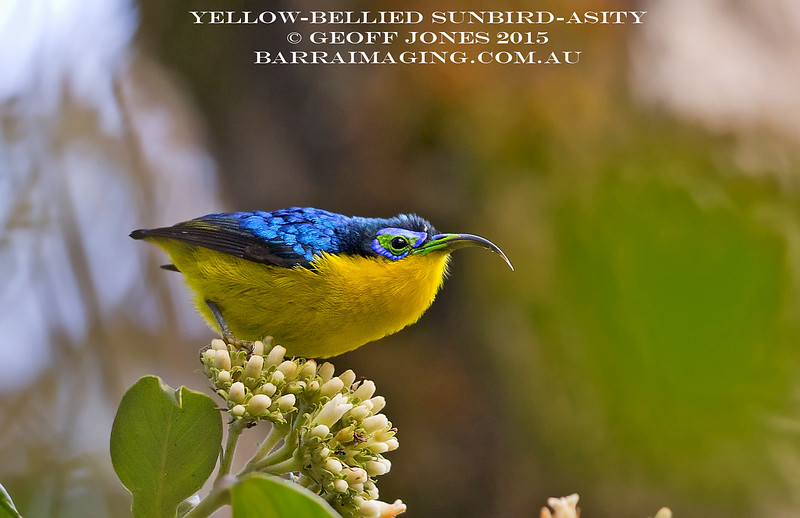 Yellow-bellied Sunbird-Asity