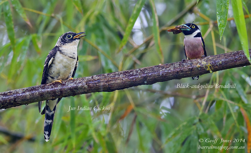 Indian Cuckoo Juv ( Cuculus micropterus ) Ssp concretus Sepilok Borneo June 2014 BO-INCU-13