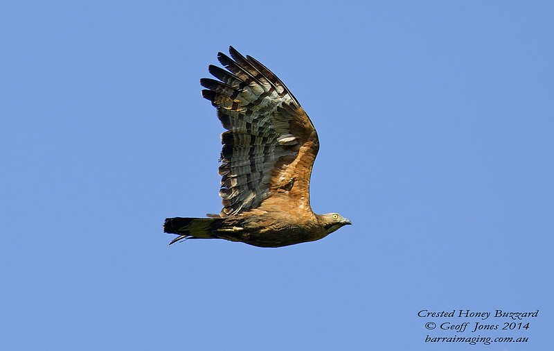 Crested Honey Buzzard ( Pernis ptilorhynchus ) Ssp torquatus Danum Valley Borneo June 2014 BO-CRHB-01