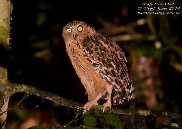 Buffy Fish Owl ( Ketupa ketupu ) Nom sp Danum Valley Borneo June 2014 BO-BUFO-02