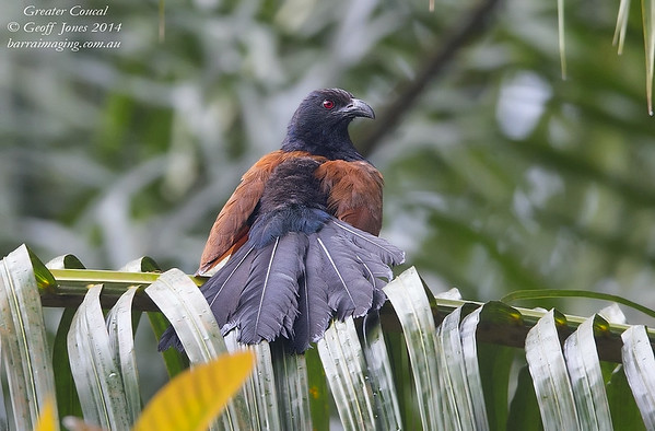 Greater Coucal ( Centropus sinensis ) Ssp intermedius Lower Kinabatangan River Borneo June 2014 BO-GRCO-01