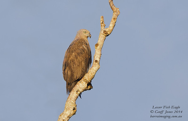 Lesser Fish Eagle ( Haliaeetus humilis ) Nom sp Lower Kinabatangan River Borneo June 2014 BO-LEFE-01