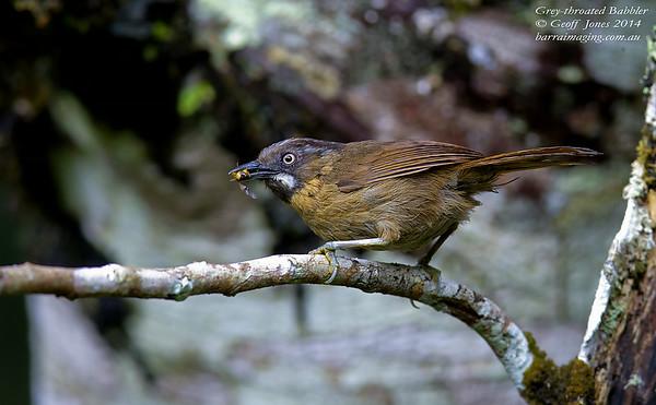 Grey-throated Babbler
