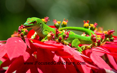 Giant Day Gecko Eating