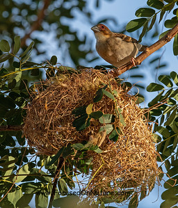 Sakalava Weaver and Nest