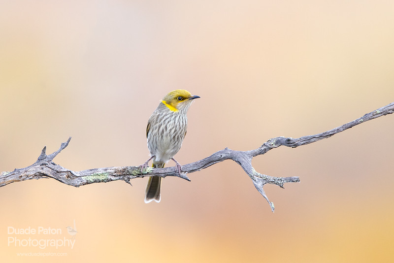 Yellow-plumed Honeyeater (Non-breeding)