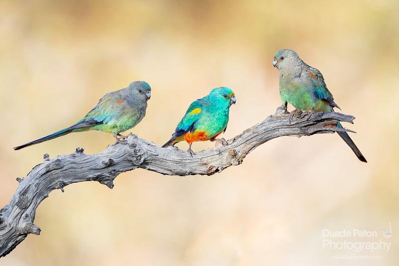 Mulga Parrots