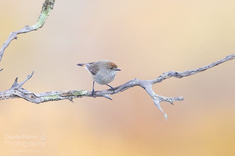 Chestnut-rumped Thornbill