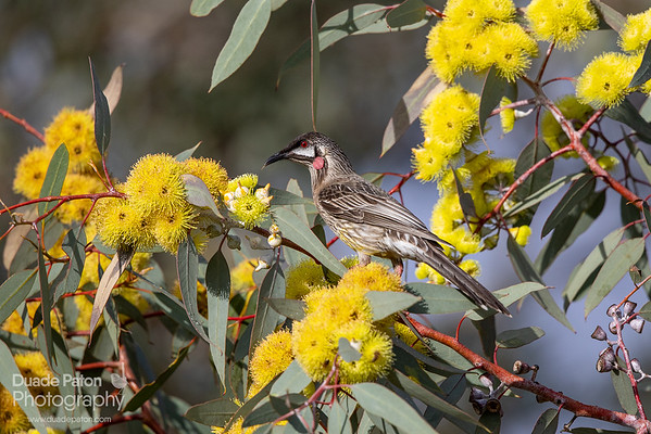 Red Wattlebird