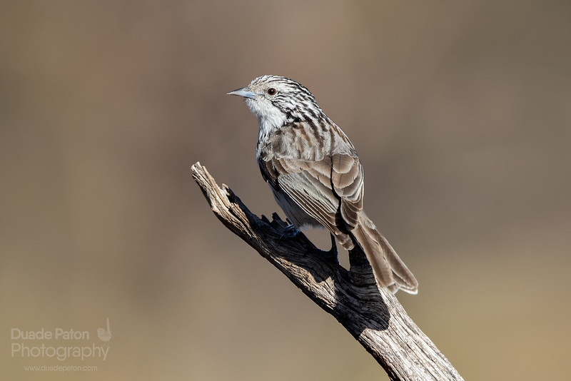 Striped Honeyeater