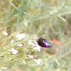 Whir of a Costa's Hummingbird feeding at the wildflowers