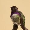Costa's Hummingbird ... Spectacular!