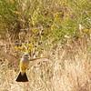 Kingbird Sequence #2
