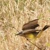 Kingbird Sequence #7