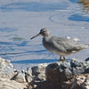 Wandering Tattler - Pescadero Creek Mouth