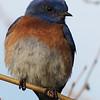 Western Bluebird in Morning Light