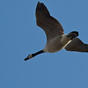 Canada Goose Overhead