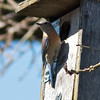 Female Western Bluebird at Nest Box