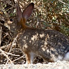 Brush Rabbit--neat-colored fur on the back of its neck!