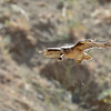 Red-tailed Hawk Carrying Nesting Material