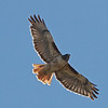 Red-tailed Hawk, Pillar Point, San Mateo County, 5-Oct-2013