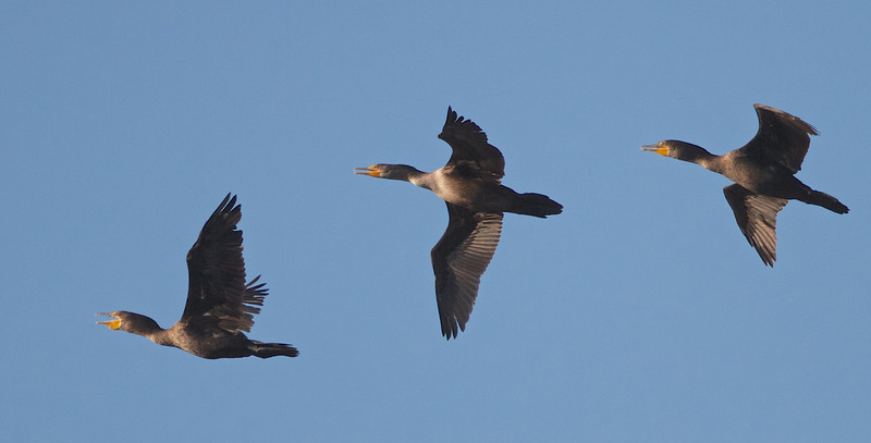 Trio of Double-crested Cormorants, Fitzgerald Marine Reserve, San Mateo County, 5-Oct-2013