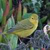 Yellow Warbler, Fitzgerald Marine Reserve, San Mateo County, 5-Oct-2013