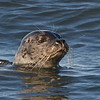 Harbor Seal, Fitzgerald Marine Reserve, San Mateo County, 5-Oct-2013