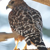 Red-shouldered Hawk, Fitzgerald Marine Reserve, San Mateo County, 5-Oct-2013