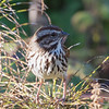 Song Sparrow, Fitzgerald Marine Reserve, San Mateo County, 5-Oct-2013