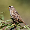 White-crowned Sparrow (nuttalli), Pillar Point, San Mateo County, 5-Oct-2013