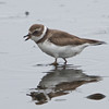 Semipalmated Plover, Moon Glow Dairy, Monterey County, 12-Oct-2013