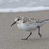 Sanderling (Juvenile), Moss Landing Beach, Monterey County, 12-Oct-2013