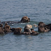 A Group of Sea Otters, Moss Landing Harbor, Monterey County, 12-Oct-2013