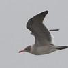 Heerman's Gull in Flight, Moss Landing Beach, Monterey County, 12-Oct-2013