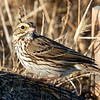 Savannah Sparrow, Hayward Regional Shoreline, Alameda County, 19-Oct-2013