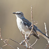 Northern Mockingbird, Coyote Hills Regional Park, Alameda County, 19-Oct-2013