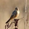 Say's Phoebe, Hayward Regional Shoreline, Alameda County, 19-Oct-2013