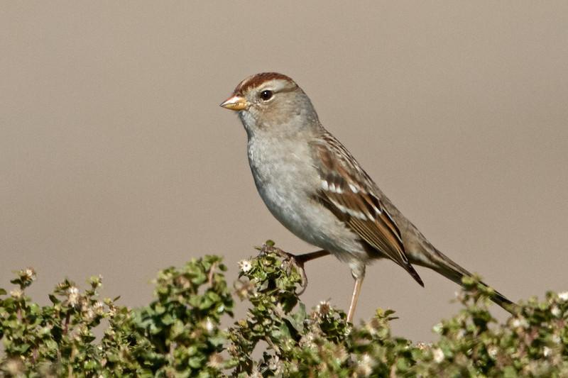 White-crowned Sparrow, Hayward Regional Shoreline, Alameda County, 19-Oct-2013