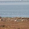 Waves of Shorebirds, Hayward Regional Shoreline, Alameda County, 19-Oct-2013