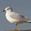 Ring-billed Gull, Hayward Regional Shoreline, Alameda County, 19-Oct-2013