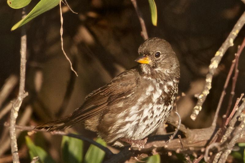 Fox Sparrow, Hayward Regional Shoreline, Alameda County, 19-Oct-2013
