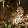 Fox Sparrow, Hayward Regional Shoreline, Alameda County, 19-Oct-2013