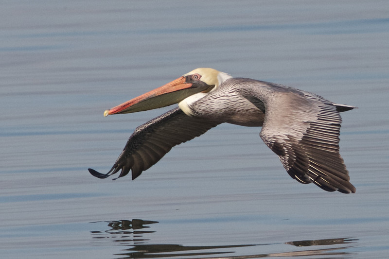 Brown Pelican, Hayward Regional Shoreline, Alameda County, 19-Oct-2013
