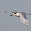 Forster's Tern, Hayward Regional Shoreline, Alameda County, 19-Oct-2013