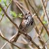 Song Sparrow, Charleston Marsh, 1-Mar-2014