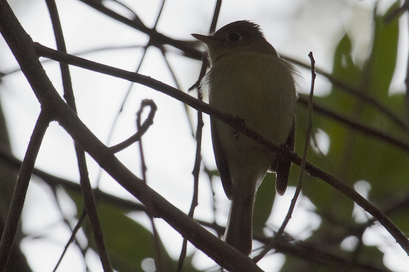 Pacific-slope Flycatcher, Joseph D Grant County Park, 29-March-2014
