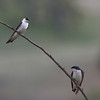 Violet-green and Tree Swallows, Joseph D Grant County Park, 29-March-2014