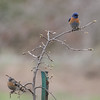 Western Bluebird Pair, Joseph D Grant County Park, 29-March-2014