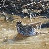 Savannah Sparrow Taking a Bath in a Roadside Puddle